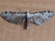 Eupithecia ravocostaliata