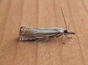 Chryoteuchia topiarius