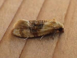 Cochylis hospes