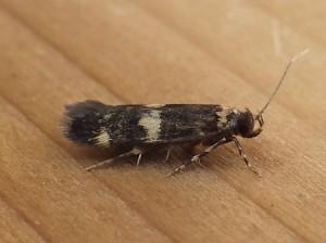 Oegoconia quadripuncta 2B