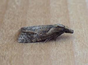 Phtheochroa riscana 5B